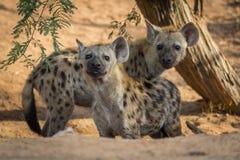 Το επισημασμένο crocuta Crocuta hyena νεώτερο Στοκ Φωτογραφία
