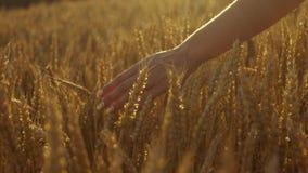 Το λεπτό χέρι woman's που τρέχει μέσω του χρυσού σίτου, ηλιοβασίλεμα φωτίζει την άποψη απόθεμα βίντεο