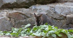 Το ερυθρόλαιμο μωρό καγκουρό Wallaby βόσκει απόθεμα βίντεο
