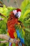 Το ερυθρό macaw Στοκ φωτογραφίες με δικαίωμα ελεύθερης χρήσης