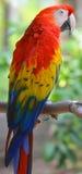 Το ερυθρό macaw Στοκ Φωτογραφία