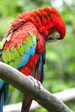 Το ερυθρό macaw (Ara Μακάο) εσκαρφάλωσε επάνω σε έναν κλάδο στη ζούγκλα Στοκ φωτογραφία με δικαίωμα ελεύθερης χρήσης