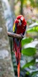 Το ερυθρό macaw - Ara Μακάο Στοκ Εικόνες