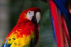 Το ερυθρό macaw - Ara Μακάο Στοκ εικόνα με δικαίωμα ελεύθερης χρήσης