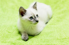Το λευκό σαν το χιόνι γατάκι με τα μπλε μάτια βρίσκεται Στοκ φωτογραφία με δικαίωμα ελεύθερης χρήσης