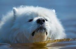 Το λευκό το σκυλί που κολυμπά στη θάλασσα Στοκ φωτογραφίες με δικαίωμα ελεύθερης χρήσης