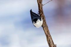 το λευκό τσοπανάκων Στοκ φωτογραφίες με δικαίωμα ελεύθερης χρήσης