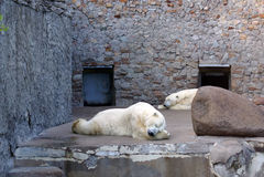 Το λευκό ύπνου αντέχει Στοκ φωτογραφία με δικαίωμα ελεύθερης χρήσης