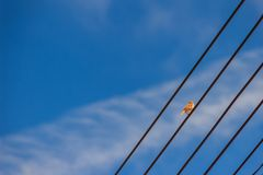 Το ευρασιατικό πουλί σπουργιτιών δέντρων είναι σκαρφαλωμένο στο ηλεκτρικό καλώδιο Στοκ εικόνα με δικαίωμα ελεύθερης χρήσης