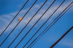 Το ευρασιατικό πουλί σπουργιτιών δέντρων είναι σκαρφαλωμένο στο ηλεκτρικό καλώδιο Στοκ Εικόνες