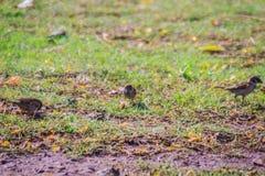 Το ευρασιατικό πουλί σπουργιτιών δέντρων ψάχνει τα τρόφιμα στον τομέα χλόης μέσα Στοκ Εικόνα