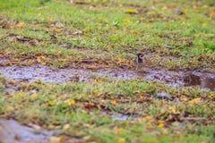 Το ευρασιατικό πουλί σπουργιτιών δέντρων ψάχνει τα τρόφιμα στον τομέα χλόης μέσα Στοκ Φωτογραφίες