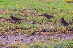 Το ευρασιατικό πουλί σπουργιτιών δέντρων ψάχνει τα τρόφιμα στον τομέα χλόης μέσα Στοκ εικόνα με δικαίωμα ελεύθερης χρήσης