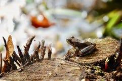 Το ευρωπαϊκό κοινό καφετί temporaria rana βατράχων χλόης στο ξύλινο κολόβωμα στοκ εικόνα