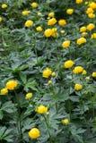 Το ευρωπαϊκό σφαίρα-λουλούδι Καρελία Ρωσία Στοκ φωτογραφία με δικαίωμα ελεύθερης χρήσης