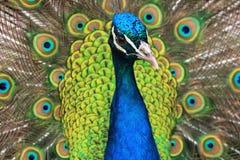 Το ευρύ eyed Peacock στοκ φωτογραφία με δικαίωμα ελεύθερης χρήσης