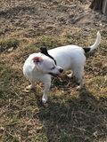 Το ευτυχές αρουραίων σκυλί διάσωσης τεριέ περιπλανώμενο υιοθετείται στοκ εικόνες με δικαίωμα ελεύθερης χρήσης