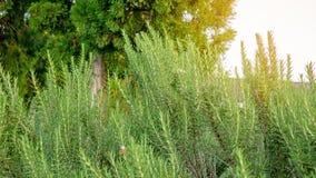 Το ευώδες χορτάρι της Rosemary είναι εδώδιμες ξύλινες αιώνιες εγκαταστάσε στοκ εικόνες