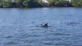 Το δελφίνι μαμών και μωρών έξω για κολυμπά Στοκ Φωτογραφίες