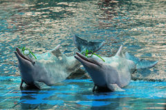 Το δελφίνι παρουσιάζει γυαλιά ένδυσης Στοκ εικόνες με δικαίωμα ελεύθερης χρήσης