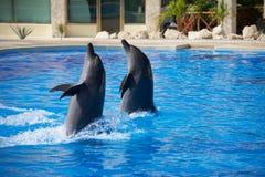 Το δελφίνι παρουσιάζει Στοκ εικόνες με δικαίωμα ελεύθερης χρήσης
