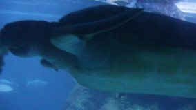 Το ζευγάρι κολύμβησης πράσινης θάλασσας χελωνών των χελωνών παίζει τα mydas Chelonia δαγκωμάτων αυλακώματος NIP πάλης, επίσης γνω φιλμ μικρού μήκους