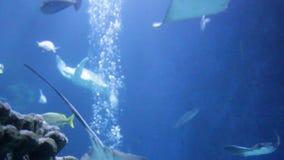 Το ζευγάρι κολύμβησης πράσινης θάλασσας χελωνών των χελωνών παίζει τα mydas Chelonia δαγκωμάτων αυλακώματος NIP πάλης, επίσης γνω απόθεμα βίντεο