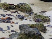 Το ζευγάρι μαύρου Thurstone, Arenaria melanocephala, ψάχνει τα τρόφιμα στην ακτή, Santa Cruz, Galapagos νησιά, Ισημερινός Στοκ Εικόνες