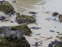Το ζευγάρι μαύρου Thurstone, Arenaria melanocephala, ψάχνει τα τρόφιμα στην ακτή, Santa Cruz, Galapagos νησιά, Ισημερινός Στοκ εικόνες με δικαίωμα ελεύθερης χρήσης
