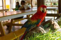 Το ζευγάρι του καλού μπλε-και-κίτρινου macaw παπαγαλίζει το ararauna Ara πουλιών γνωστό ως μπλε-και-χρυσή macaw συνεδρίαση από κο Στοκ Εικόνες