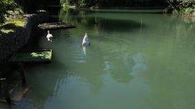 Το ζευγάρι των άσπρων κύκνων κολυμπά σε μια λίμνη στη διατηρημένη περιοχή, ψάχνουν τα τρόφιμα απόθεμα βίντεο
