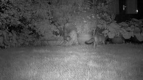 Το ζευγάρι των αλεπούδων καλλιεργεί στο εσωτερικό απόθεμα βίντεο