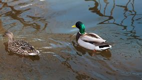 Το ζευγάρι των παπιών πρασινολαιμών κολυμπά στο νερό σε μια λίμνη στη φύση φιλμ μικρού μήκους