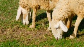 Το ζευγάρι των sheeps βόσκει στο πράσινο juicy λιβάδι φιλμ μικρού μήκους