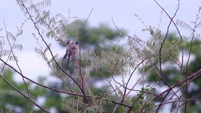 Το ζευγάρι sooty-διευθυνμένου Bulbul χαλαρώνει στο δέντρο απόθεμα βίντεο