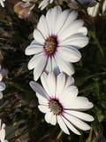 το ζεύγος λευκό αυξήθηκε λουλούδια Στοκ Φωτογραφία