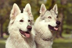 Το ζεύγος του γκρίζου wolfdog και το ελβετικό λευκό shepheard σταθμεύουν την άνοιξη Στοκ φωτογραφία με δικαίωμα ελεύθερης χρήσης