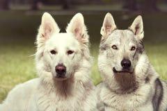 Το ζεύγος του γκρίζου wolfdog και το ελβετικό λευκό shepheard σταθμεύουν την άνοιξη Στοκ Εικόνα