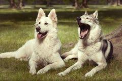 Το ζεύγος του γκρίζου wolfdog χασμουρητού και το ελβετικό λευκό shepheard σταθμεύουν την άνοιξη Στοκ Φωτογραφίες