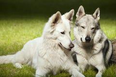 Το ζεύγος του χαριτωμένου γκρίζου wolfdog και το ελβετικό λευκό shepheard σταθμεύουν την άνοιξη Στοκ φωτογραφία με δικαίωμα ελεύθερης χρήσης