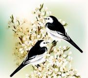 Το ζεύγος των γραπτών πουλιών κάθεται σε ένα ανθίζοντας δαμάσκηνο β άνοιξη Στοκ φωτογραφία με δικαίωμα ελεύθερης χρήσης