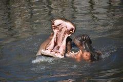 Το ζεύγος των hippos κολυμπά και παίζει στο νερό στοκ φωτογραφία με δικαίωμα ελεύθερης χρήσης