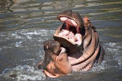 Το ζεύγος των hippos κολυμπά και παίζει στο νερό στοκ εικόνα