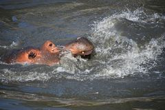 Το ζεύγος των hippos κολυμπά και παίζει στο νερό στοκ φωτογραφίες με δικαίωμα ελεύθερης χρήσης