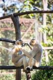 Το ζεύγος gibbon Στοκ Εικόνα
