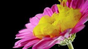 Το ζωηρόχρωμο μελάνι χρωμάτων ρέει ένα λουλούδι στο νερό απόθεμα βίντεο