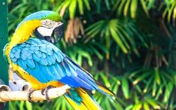 Το ζωηρόχρωμο πουλί Macaw στον κλάδο στοκ φωτογραφία