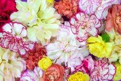 Το ζωηρόχρωμο υπόβαθρο ανθοδεσμών λουλουδιών φιαγμένο από ζωηρόχρωμο γαρίφαλο ανθίζει τον τοίχο για το υπόβαθρο και την ταπετσαρί στοκ εικόνες