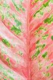 Το ζωηρόχρωμο φύλλο Araceae Στοκ φωτογραφίες με δικαίωμα ελεύθερης χρήσης