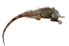 Το ζωηρόχρωμο iguana βρίσκεται στο στομάχι της Απομονωμένος στο λευκό Στοκ φωτογραφία με δικαίωμα ελεύθερης χρήσης